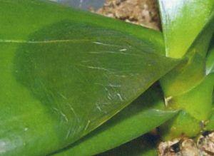 cuidados de las orquídeas, bacterias, enferemedades de las orquídeas
