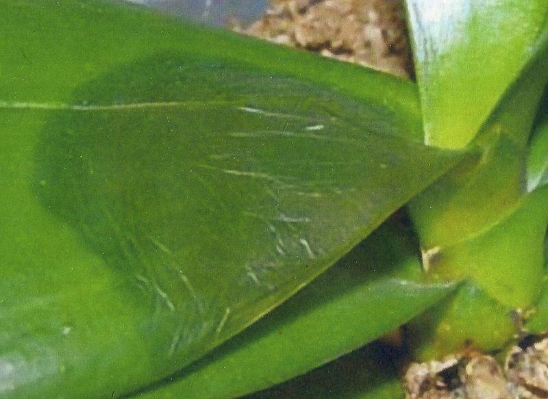 cuidado de las orquídeas, bacterias