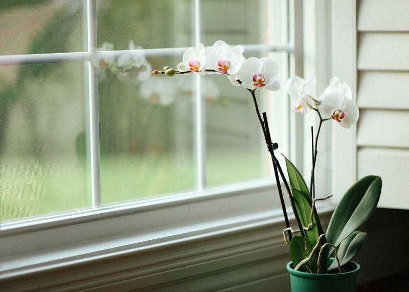 cuidado de las orquídeas, orquídea en ventana