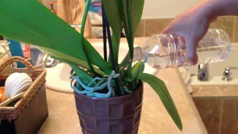 cuidados de las orquídeas, como regar una orquídea con agua embotellada