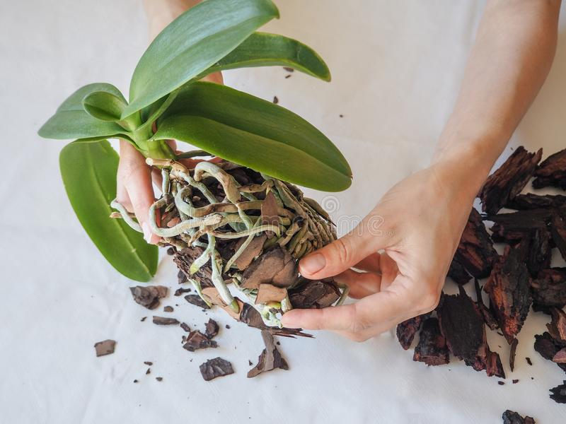 cuidado de las orquídeas, transplantar
