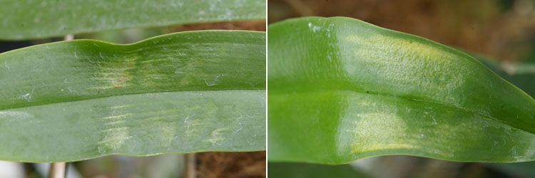 cuidado de las orquídeas, virus
