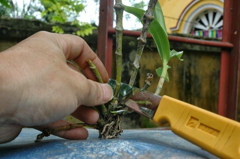 cuidado de las orquídeas, esquejes de pseudobulbos
