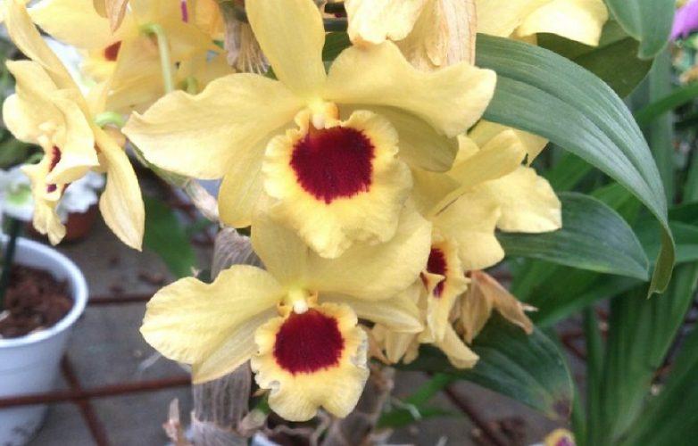 dendrobium nobile amarilla