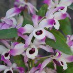 flores de dendrobium nobile