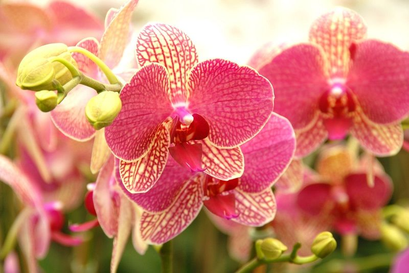 híbridos phalaenopsis