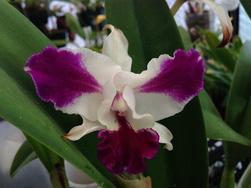Cattleya Cuidados De La Orquidea Cattleya Tutorial 100 Practico - Orquideas-blancas-cuidados