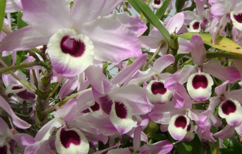 orquídea dendrobium nobile