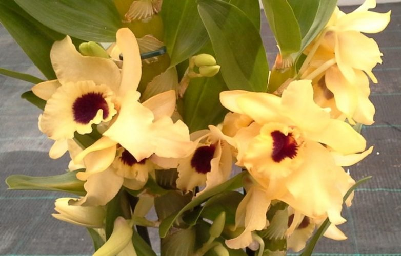 orquídea dendrobium nobile amarilla