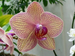 orquídea phalaenopsis ficha