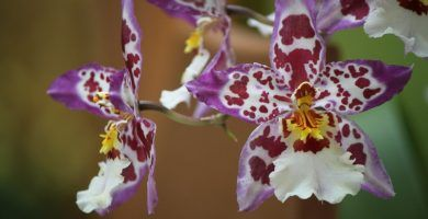 orquídeas cambria