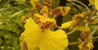 orquídeas oncidium amarillas