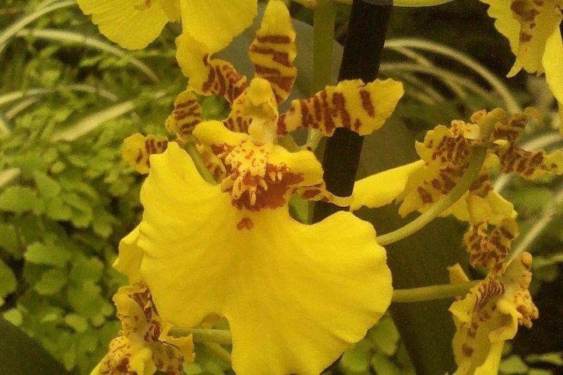 orquídeas amarillas oncidium