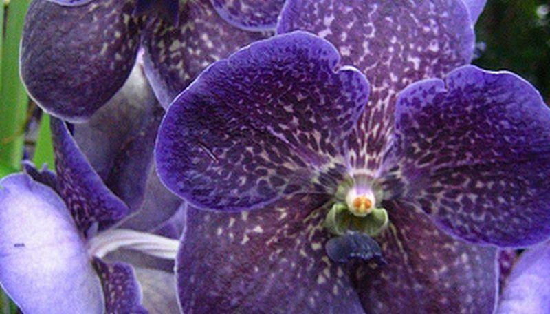 orquídeas vanda
