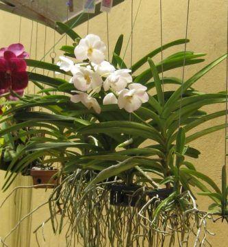 orquídeas vanda colgadas