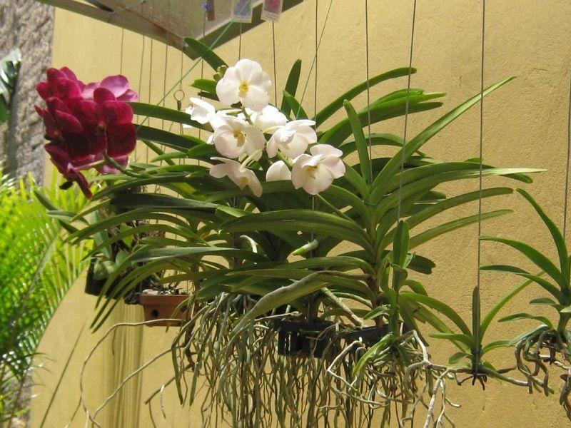 orquídeas vanda colgadas. macetas para orquídeas