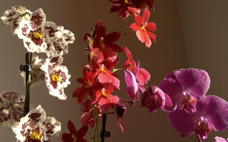 orquídeas cambria y phalaenopsis