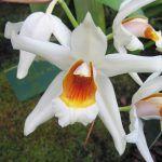 tipos de orquídeas, Coelogyne