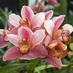 tipos de orquídeas, Cymbidium
