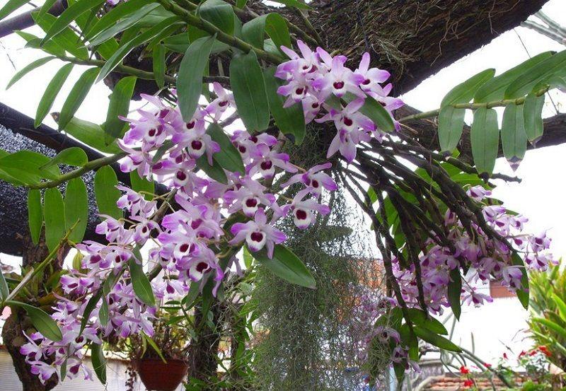 tipos de orquídeas, Dendrobium