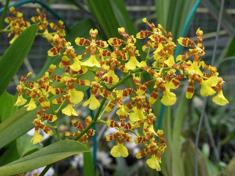 tipos de orquídeas, Oncidium