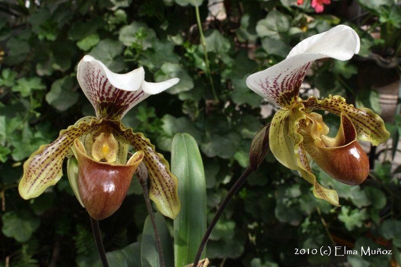 tipos de orquídeas, Paphiopedilum
