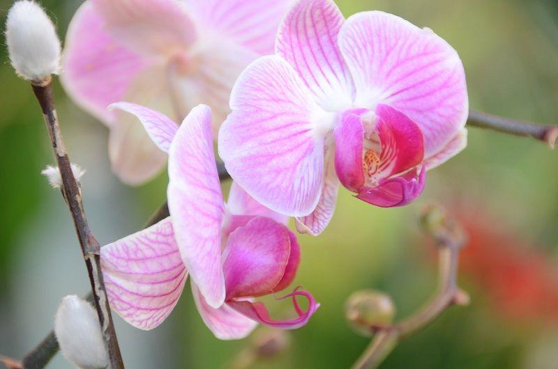 tipos de orquídeas, Phalaenopsis