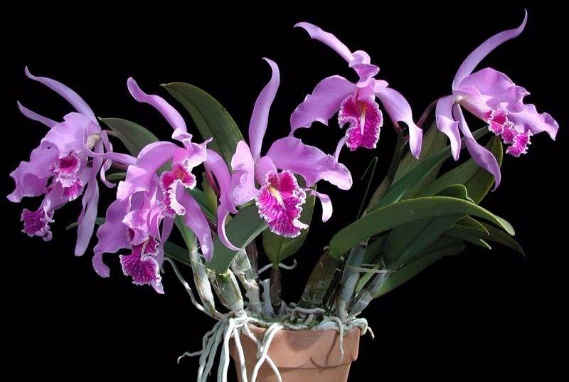 tipos de orquídeas, cattleya