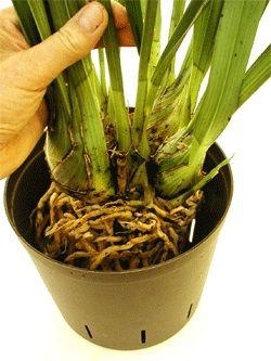 trasplantar orquídeas cymbidium