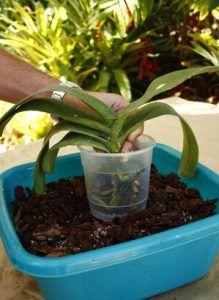 como trasplantar una orquídea paso 4