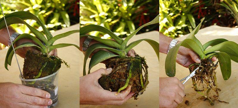 como trasplantar una orquídea, paso a paso