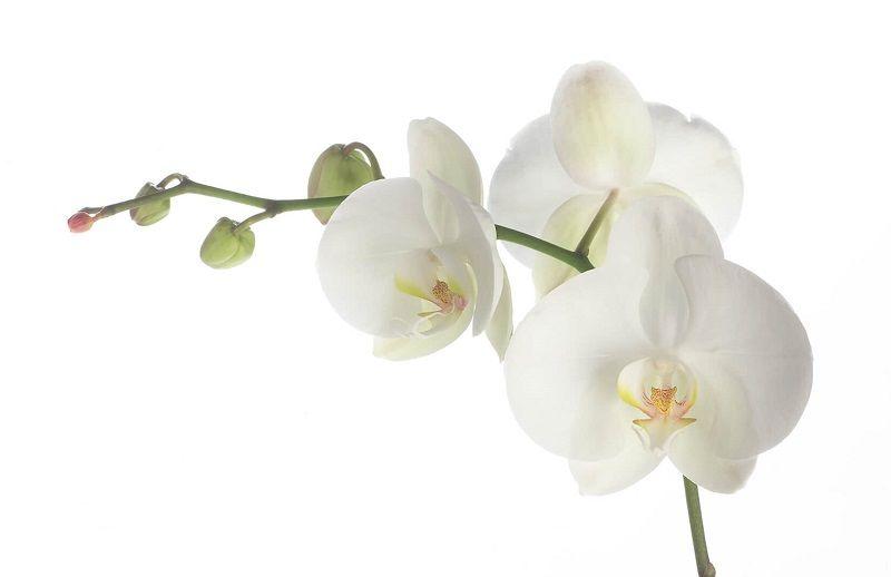 cuadro de orquídeas blancas