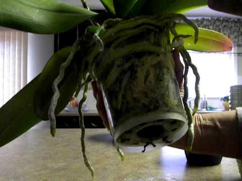 cuando es el mejor momento para trasplantar una orquídea