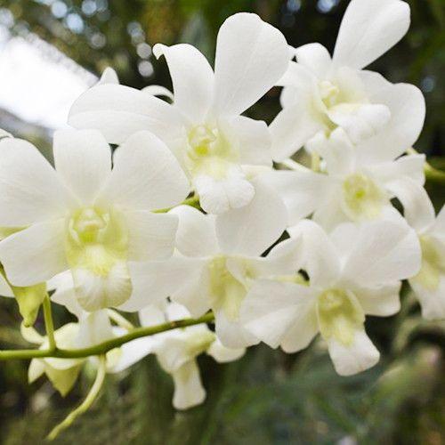 cymbidium orquídeas blancas