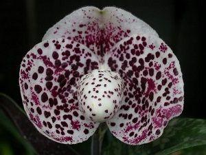 ficha orquídea paphiopedilum