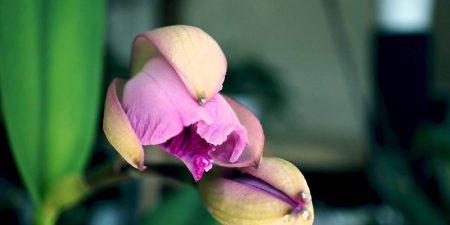 Floración de las Orquídeas