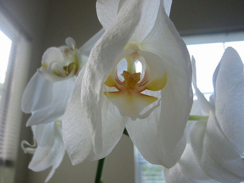 floración de las orquídeas, flores marchitándose