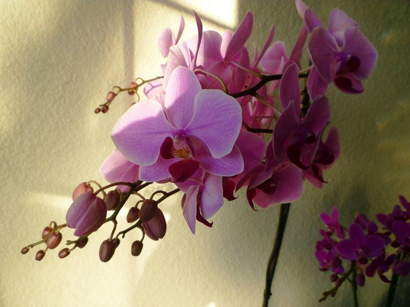 floración de las orquídeas phalaenopsis