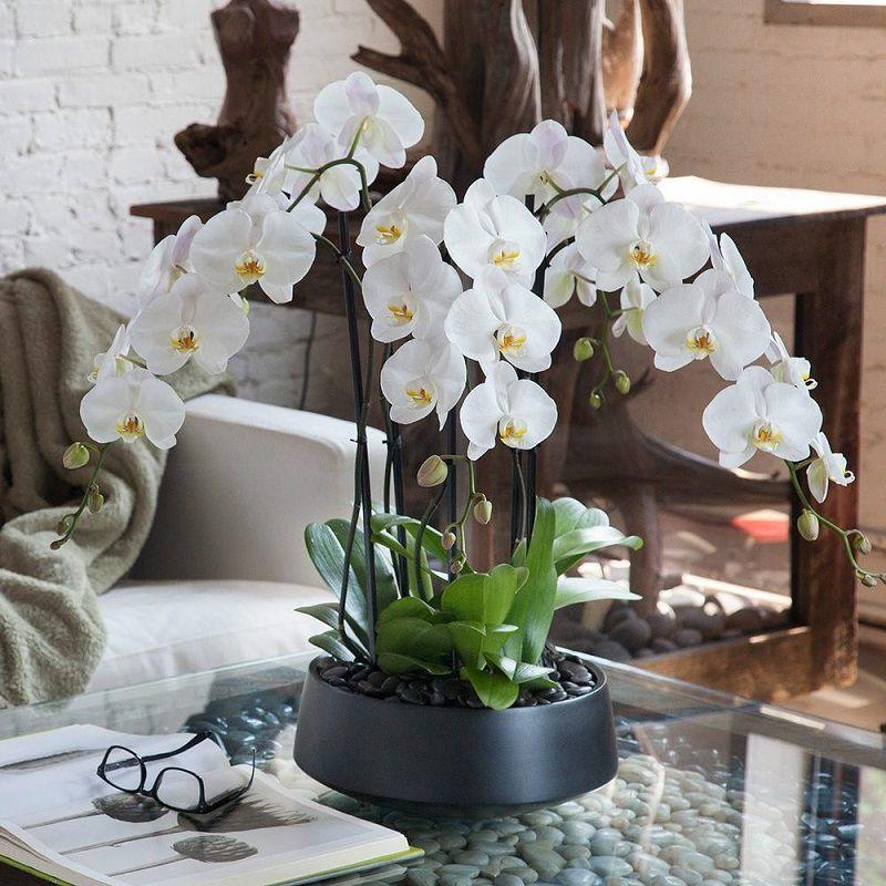 Maceta con dos orquídeas blancas