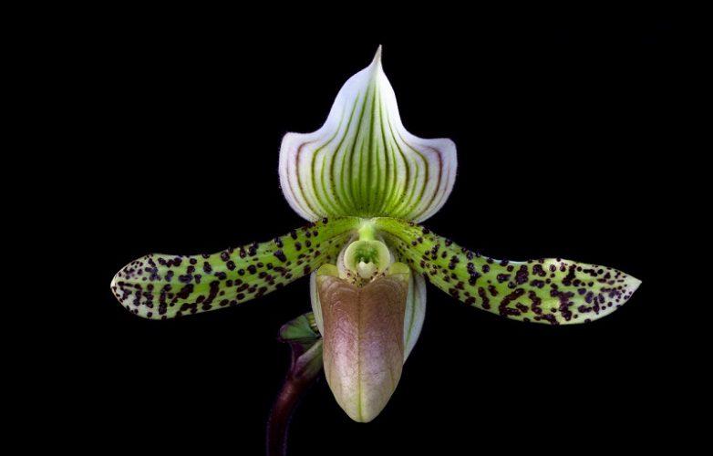 orquídea Paphiopedilum makuli