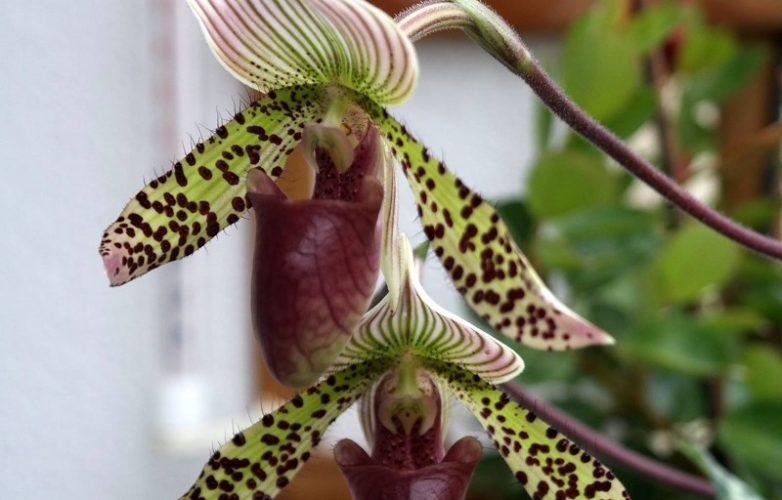 orquídea Paphiopedilum marcin opolski