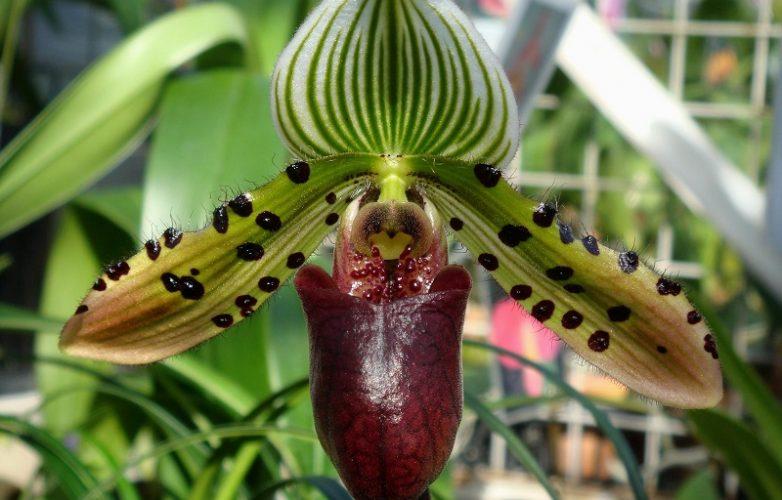 orquídea Paphiopedilum venus rising