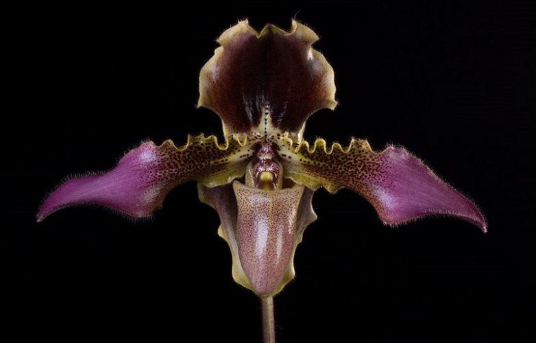 orquídea Paphiopedilum, zapatilla de venus