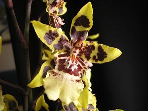 orquídea cambria ficha