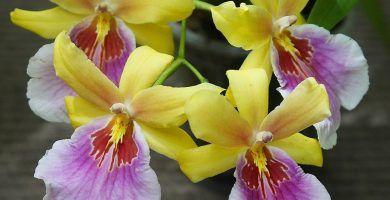 orquídeas miltonia