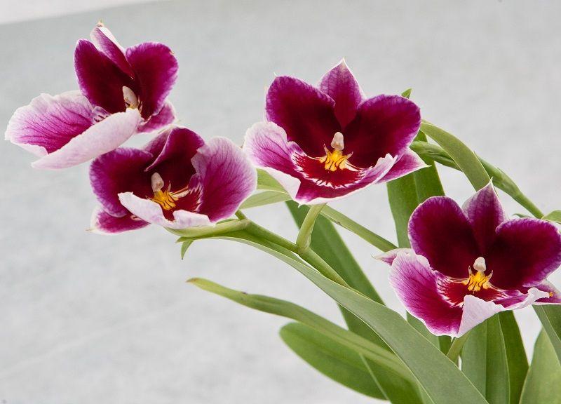 orquídeas miltonia, orquídeas pensamiento