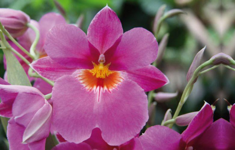 orquídeas miltonia, orquideas pensamiento viola