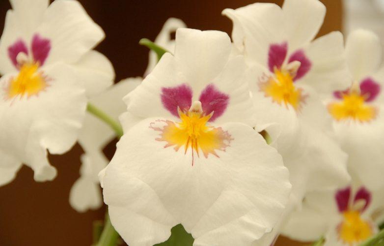orquídeas pensamiento, miltonia