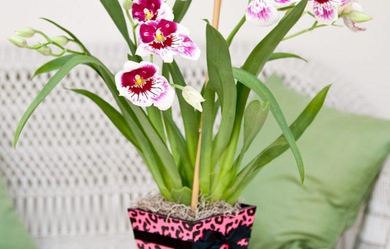 orquidea miltonia en maceta
