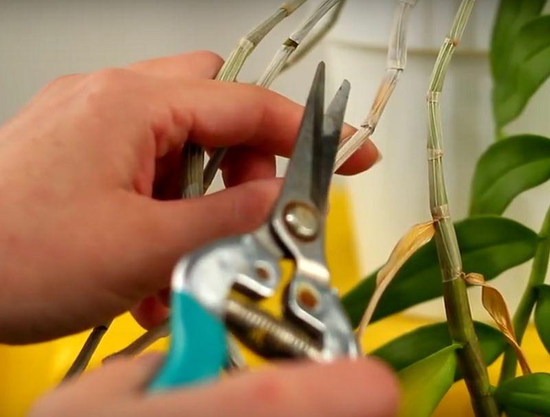 podar una orquídea dendrobium